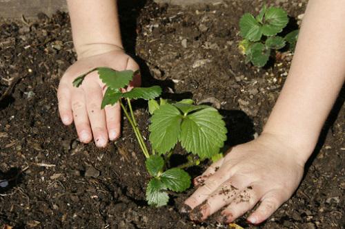 Люпин - выращивание из семян
