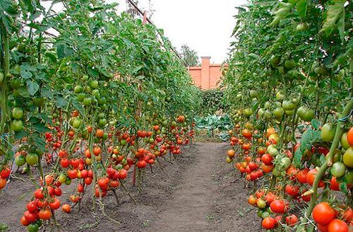 Выращивание помидоров в открытом грунте готовимся
