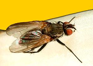 как выглядит луковая муха